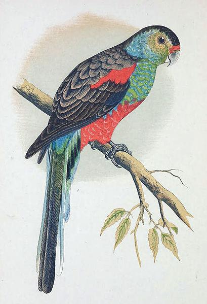 Paradise_Parrot